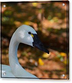 White Swan Acrylic Print by Helene Dignard