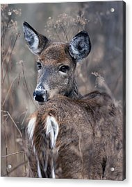 White-tail Beauty Acrylic Print by Timothy McIntyre