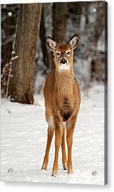 Whitetail In Snow Acrylic Print