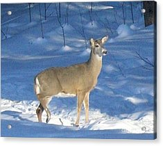Acrylic Print featuring the photograph White Tail Deer by Brenda Brown