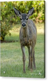 Acrylic Print featuring the photograph White Tail Fawn by Inge Riis McDonald