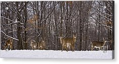 White Tailed Deer Acrylic Print by Anthony Sacco