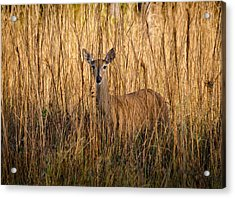 White Tailed Deer Acrylic Print