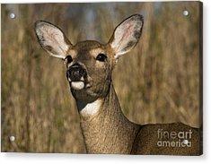 White-tailed Deer Acrylic Print by Linda Freshwaters Arndt