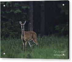 White-tailed Deer Acrylic Print by Veikko Suikkanen