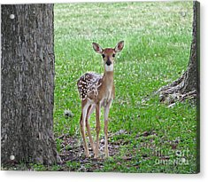 White-tailed Fawn - Face Of Innocence Acrylic Print