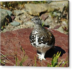 Acrylic Print featuring the photograph White-tailed Ptarmigan by Sue Smith