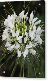 White Tenderness Acrylic Print by Christiane Schulze Art And Photography