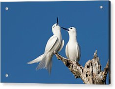 White Terns Allogrooming Acrylic Print