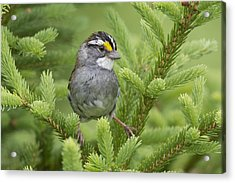 White-throated Sparrow Male In Breeding Acrylic Print by Scott Leslie