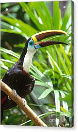 White-throated Toucan Acrylic Print by Art Wolfe