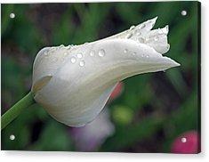 White Tulip Acrylic Print by Cheryl Cencich