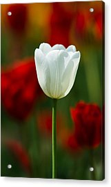 White Tulip - Featured 3 Acrylic Print by Alexander Senin