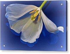 White Tulip On Blue Acrylic Print