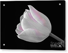 Acrylic Print featuring the digital art White Tulip With Pink by Jeannie Rhode