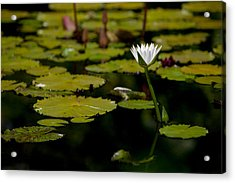 White Water Lily Uncropped Acrylic Print by Julio Solar