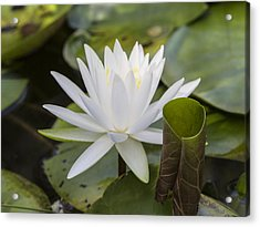 White Water Lily With Curiously Scrolled Leaf Acrylic Print