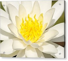 Acrylic Print featuring the photograph White Waterlily by Olivia Hardwicke