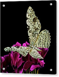 White Witch Moth Resting At Midnight  Acrylic Print by Leslie Crotty