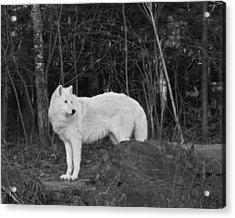 White Wolf Acrylic Print by Kate Purdy