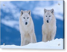 White Wolf Pair In Winter Acrylic Print by Alan and Sandy Carey