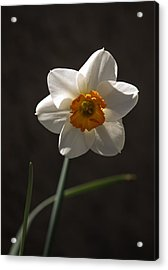 White Yellow Daffodil Acrylic Print
