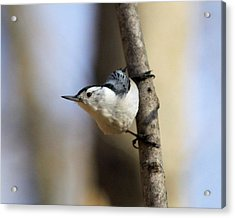 Whitebreasted Nuthatch Acrylic Print