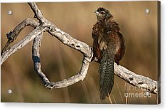 Whitebrowed Coucal Acrylic Print