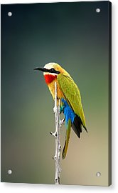 Whitefronted Bee-eater Acrylic Print by Johan Swanepoel