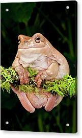 White's Treefrog, Litoria Caerulea Acrylic Print by David Northcott