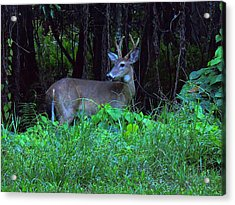 Whitetail Buck 015 Acrylic Print