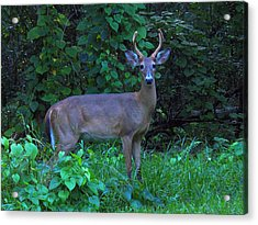 Whitetail Buck 029 Acrylic Print