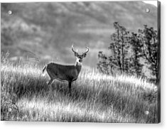 Acrylic Print featuring the photograph Whitetail Buck B/w by Kevin Bone