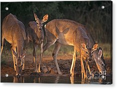 Whitetail Deer At Waterhole Texas Acrylic Print by Dave Welling