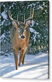 Whitetail Deer Eight Point Acrylic Print