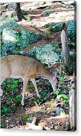Whitetail Deer Acrylic Print by Julien Boutin