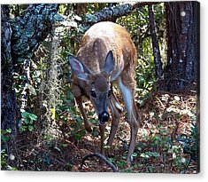 Whitetail Fawn 008 Acrylic Print by Chris Mercer