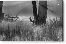 Whitetail Morning Acrylic Print