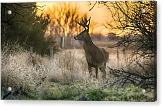 Whitetail Sunset Acrylic Print