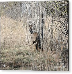 Whitetail Undercover Acrylic Print by Lori Tordsen