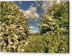 Whitethorn Hedge Acrylic Print by John Quinn