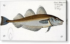 Whiting Acrylic Print by Andreas Ludwig Kruger
