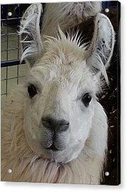 Acrylic Print featuring the photograph Who Me Llama by Caryl J Bohn