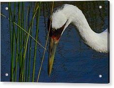 Whooping Crane Acrylic Print by David Tennis