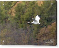 Whooping Crane Acrylic Print by Steven Ralser