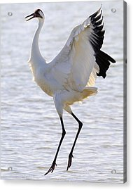 Whooping Crane - Whooping It Up Acrylic Print by Tony Beck