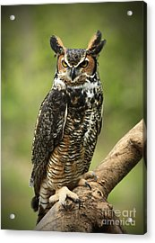 Whoos Watching Me Great Horned Owl In The Forest  Acrylic Print by Inspired Nature Photography Fine Art Photography