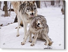 Acrylic Print featuring the photograph Who's The Boss by Wolves Only