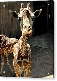 Why The Long Neck? Acrylic Print
