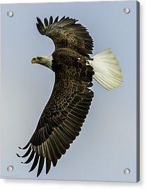 Wicket Wing Span  Acrylic Print by Glenn Lawrence